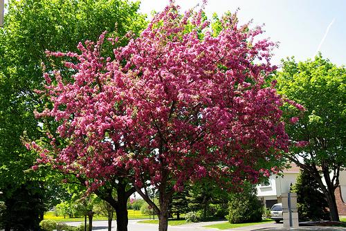 Malus Hopa Flowering Crabapple Gs Trees