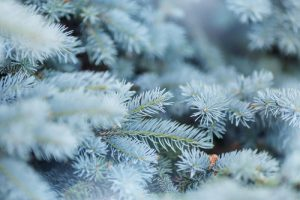 blue spruce tree for sale