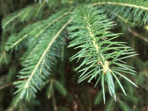 nordmann fir trees for sale